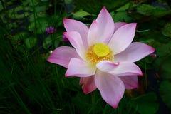 Beautiful lotus shining. Beautiful lotus in the lagoon pink color Royalty Free Stock Photography