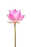 Beautiful lotus, Single lotus flower Stock Photos