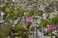 Beautiful Lotus, srilankan Lotus Farm, Lotus Pond, Pond royalty free stock photos