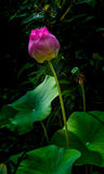Beautiful lotus that symbol of Buddhism,A religion that Thais re Royalty Free Stock Image