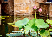 Beautiful lotus in tropical garden Royalty Free Stock Photos