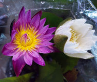 Beautiful lotus of violet yellow water lily Stock Photos