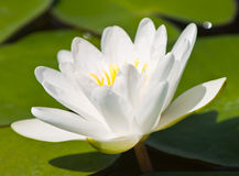 Beautiful lotus with water Stock Image