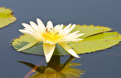 Beautiful lotus with water Stock Photo