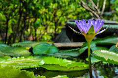Beautiful lotus. Water Lilly in thailand vertical purple color flower Stock Photos