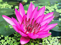 The beautiful lotus Stock Image