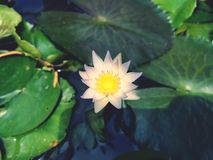 Beautiful lotus water lily blossom tropical flower on the pool garden decoration royalty free stock photos