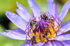 Beautiful lotus, water lily. Close up of beautiful lotus, water lily and Bee, Macro Stock Photography