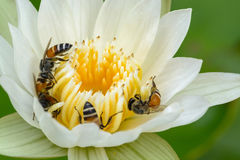 Beautiful lotus, water lily. Close up of beautiful lotus, water lily and Bee, Macro Stock Images