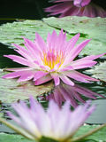 Beautiful lotus with water reflection Royalty Free Stock Photo
