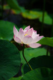 Beautiful lotus. White and pink, fresh feeling, a good impression Royalty Free Stock Images