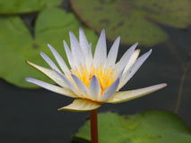 Beautiful lotus. White and purple lotus In the middle of a lotus pond. A beautiful yellow pollen Royalty Free Stock Images