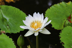 Beautiful lotus Royalty Free Stock Photos