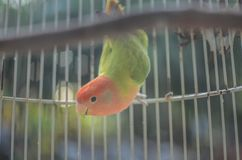 Beautiful lovebird  in the cage stock photography