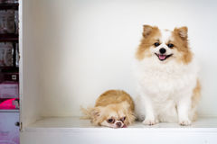 Beautiful and lovely dogs,white and brown furry Pomeranian sitti Stock Photos