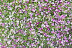 Beautiful lovely little white and pink  gypsophila flowers patte Stock Photo