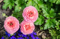 Beautiful lovely pink ranunculus or buttercup flowers at Centennial Park, Sydney, Australia. stock image