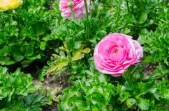 Beautiful lovely pink Ranunculus or Buttercup flowers at Centennial Park, Sydney, Australia. royalty free stock photos
