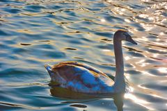 Beautiful lovely swan on a blue lake Royalty Free Stock Photo