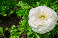 Beautiful lovely white Ranunculus or Buttercup flowers at Centennial Park, Sydney, Australia. stock photography
