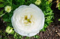 Beautiful lovely white Ranunculus or Buttercup flowers at Centennial Park, Sydney, Australia. stock photo