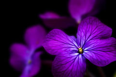 Beautiful low key image of Honesty flower Royalty Free Stock Photo