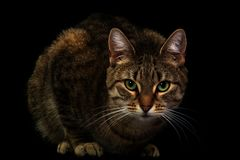 Beautiful low-key portrait of a cat. Real photo of a posing cat with highlights, shot over black Stock Photos