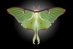 Beautiful Luna Moth (Actias luna) Stock Photos
