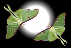Beautiful Luna Moth (Actias luna) Stock Image