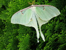 Beautiful Luna Moth Royalty Free Stock Photo