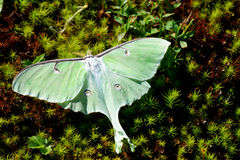 Beautiful Luna Moth sitting in moss. Stock Photo
