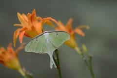 Beautiful Luna Moth sitting on orange daylily. Royalty Free Stock Photography