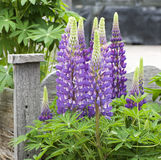 Beautiful lupin flower Stock Images