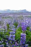 Beautiful lupines in summer,Iceland. stock image