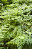Beautiful lush ferns. Forming a thick foliage under trees Royalty Free Stock Photography