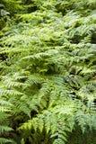Beautiful lush ferns Royalty Free Stock Photography