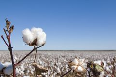 Field of Ripe Cotton Plants Stock Images