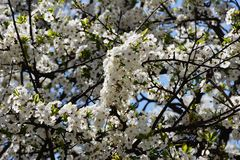 Lush spring blooms on the tree. Beautiful, lush, flowering tree with white flowers in spring Sunny day Royalty Free Stock Photo