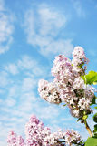 Beautiful lush flowers of lilac against blue sky Stock Photography