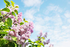 Beautiful lush flowers of lilac bush against blue sky Stock Photo