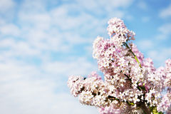 Beautiful lush flowers of lilac bush against sky Stock Image