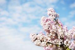 Beautiful lush flowers of lilac bush against sky Stock Image
