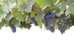 Beautiful Lush Grape Bushels and Vines on White Royalty Free Stock Image