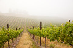Beautiful Lush Grape Vineyard Stock Image