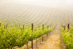 Beautiful Lush Grape Vineyard Stock Photo