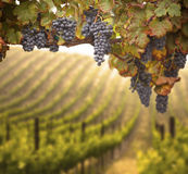 Beautiful Lush Grape Vineyard Stock Photography