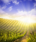 Beautiful Lush Grape Vineyard and Dramatic Sky Stock Photography