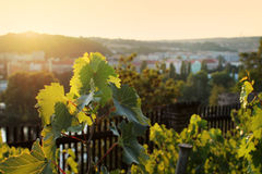 Beautiful lush grape vineyard Stock Photos