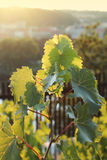 Beautiful lush grape vineyard Royalty Free Stock Images