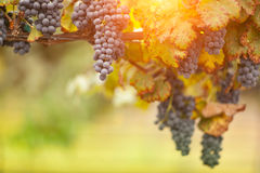Beautiful Lush Grape Vineyard in The Morning Sun and Mist Stock Photography